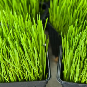 wheatgrass and cancer
